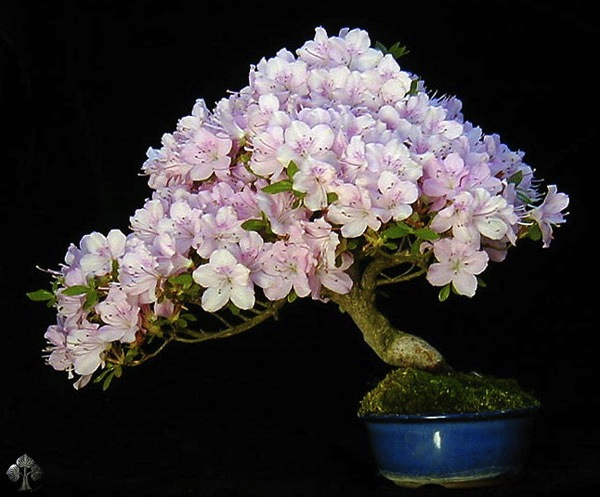 Flowering bonsai tree