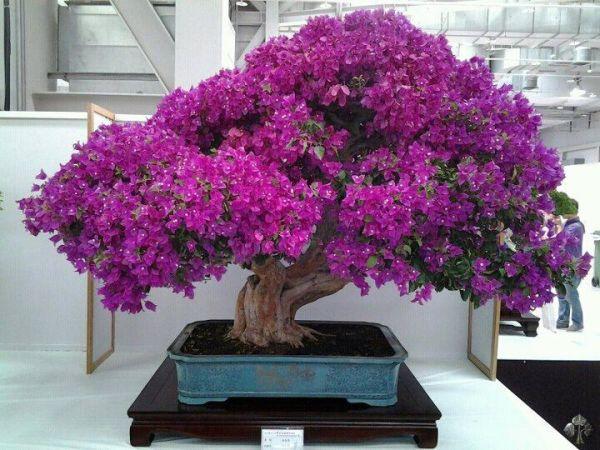 top 10 bonsa en fleurs bonsai empire. Black Bedroom Furniture Sets. Home Design Ideas