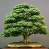 Acer esdoorn bonsai