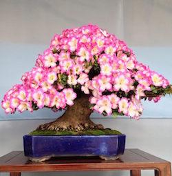 le festival d azal es bonsa satsuki ueno bonsai empire. Black Bedroom Furniture Sets. Home Design Ideas