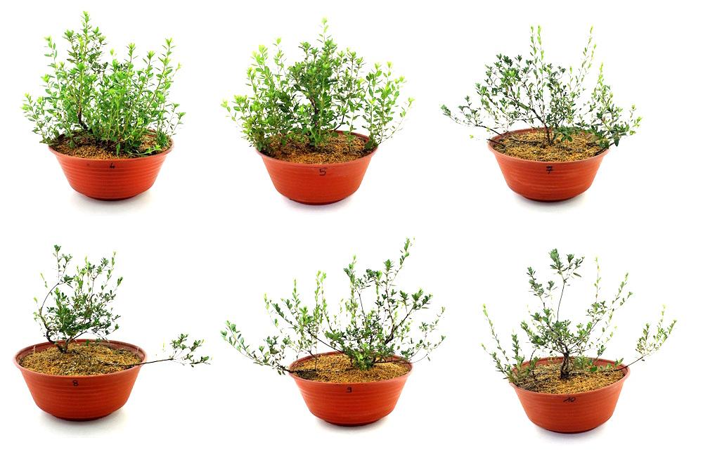 La formation des azal es bonsai empire for Azalea bonsai