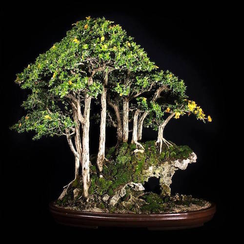 Buxifolia Bonsai