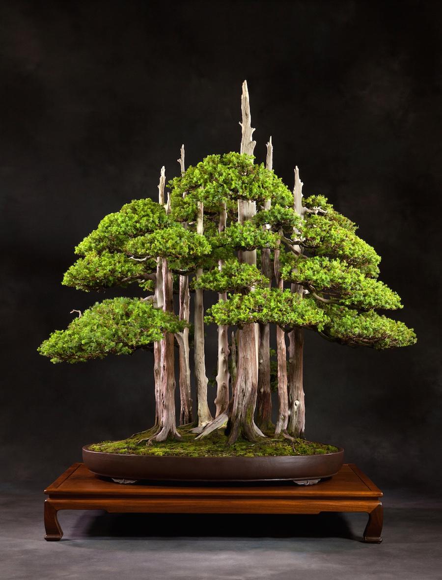 pot bonsai grande taille