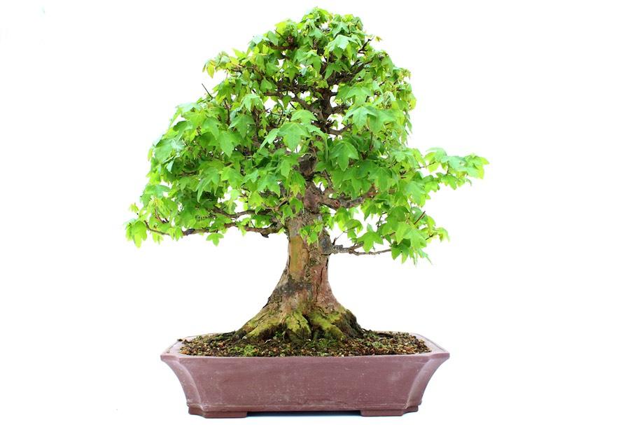 les bonsa s d ext rieur et leurs directives sp cifiques d