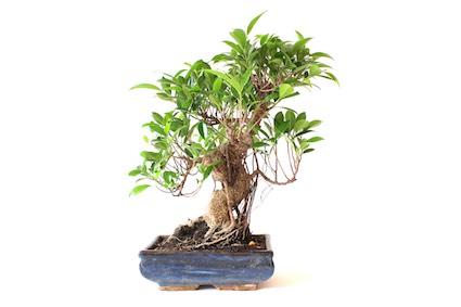 guide d entretien pour les bonsa s de ficus retusa ginseng ou figuier bonsai empire. Black Bedroom Furniture Sets. Home Design Ideas