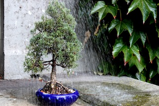 Arroser un bonsaï