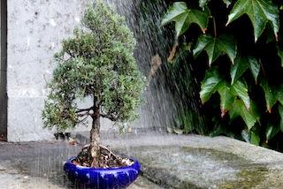 l arrosage des bonsa s comment arroser ses arbres. Black Bedroom Furniture Sets. Home Design Ideas