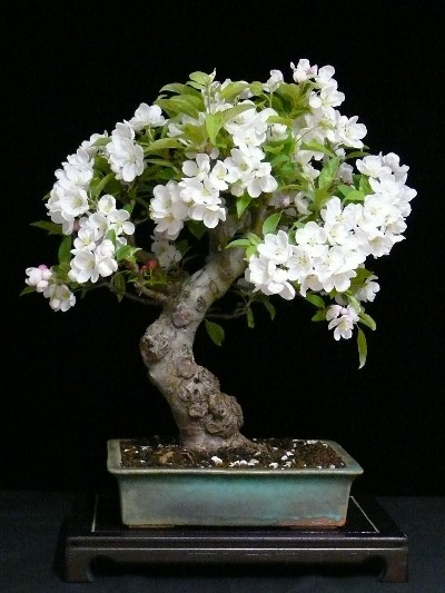 evolution d un pommier malus spectabilis bonsai empire. Black Bedroom Furniture Sets. Home Design Ideas