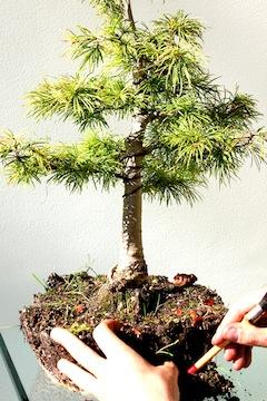 rempotage des bonsa s comment rempoter son arbre bonsai. Black Bedroom Furniture Sets. Home Design Ideas