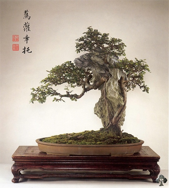 Guide d entretien pour bonsa s d orme de chine ulmus parviflora bonsai empire - Orme de chine bonsai ...