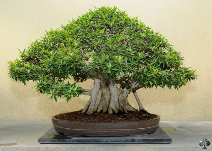guide d entretien pour les bonsa s de ficus retusa ginseng ou figuier bonsai empire. Black Bedroom Furniture Sets. Home Design Ideas