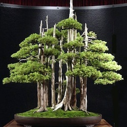 Great Bonsai trees thumbnail