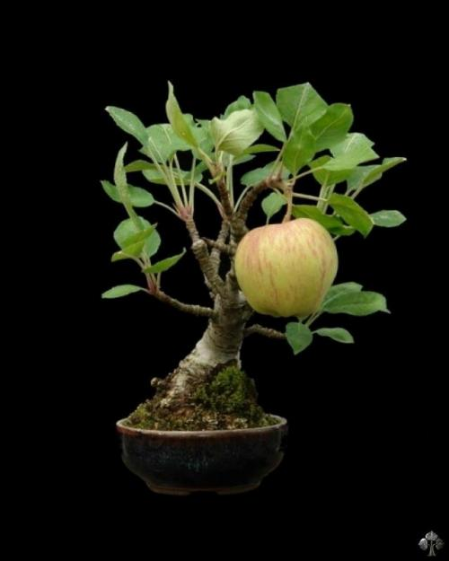 Apple on a Bonsai tree