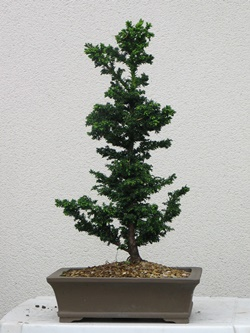 5 year old Bonsai