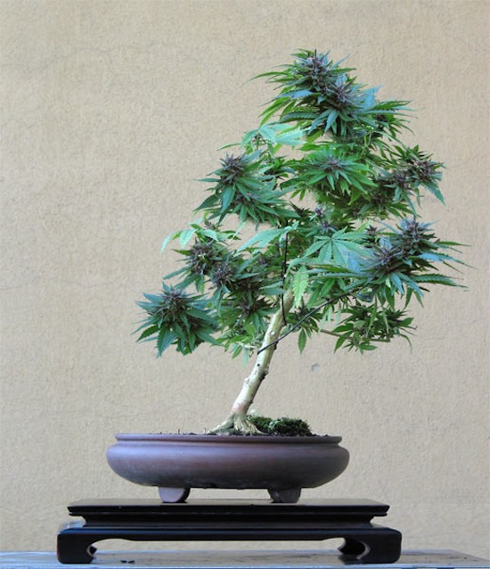 bonsa marijuana bonsai empire. Black Bedroom Furniture Sets. Home Design Ideas