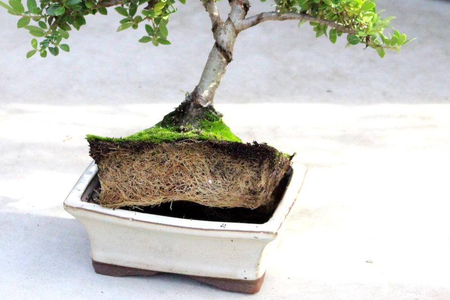 L\'arrosage des Bonsaïs, comment arroser ses arbres - Bonsai Empire