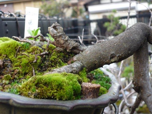 cultiver la mousse pour les bonsa s bonsai empire. Black Bedroom Furniture Sets. Home Design Ideas