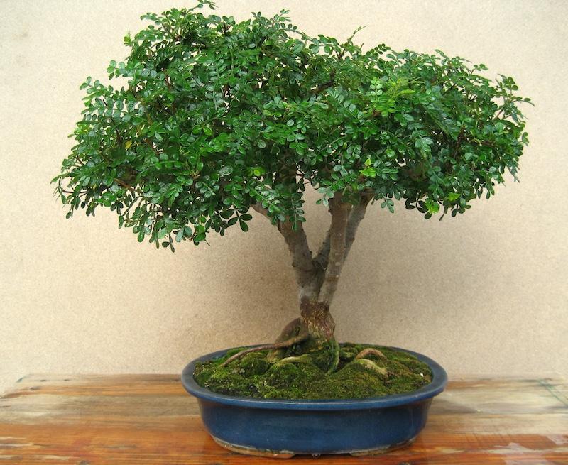 https://www.bonsaiempire.fr/images/species-photos/bonsai-zanthoxylum-pepper.jpeg