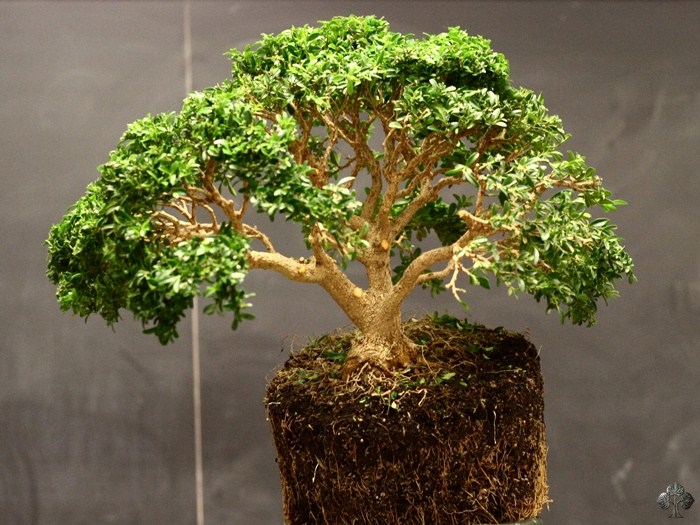 Buis (Buxus) Bonsai